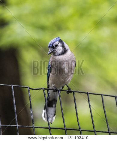 blue jayCyanocitta cristata is a passerine bird in the family Corvidae native to North Americ