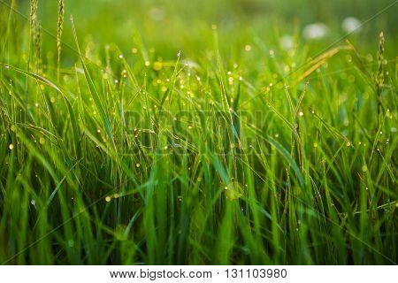 Close Up Of Fresh Thick Grass With Water Drops