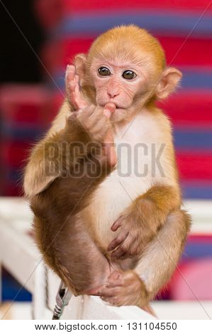 a little monkey toe sucking on wood beam