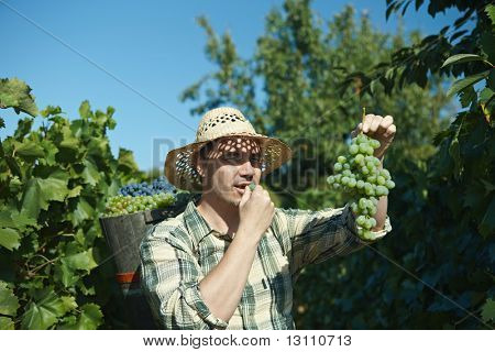 Vintager wearing butt full of grapes during the vintage.