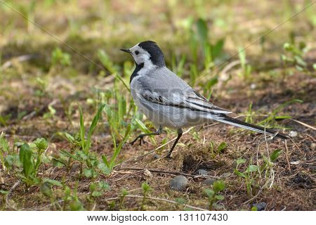 White Wagtail (Motacilla alba) on Forest Ground (Western Siberia)