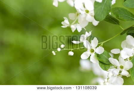 Spring beautiful blooming exochorda racemosa. White spring flowers. Spring branch of a tree with blossoming white small flowers on a bokeh background of green leaves.