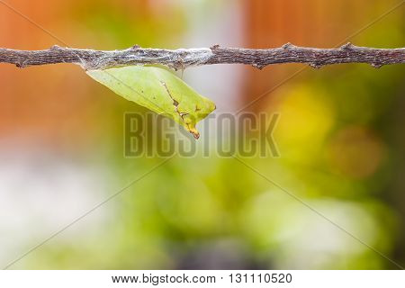 Chrysalis Of Tailed Jay Butterfly