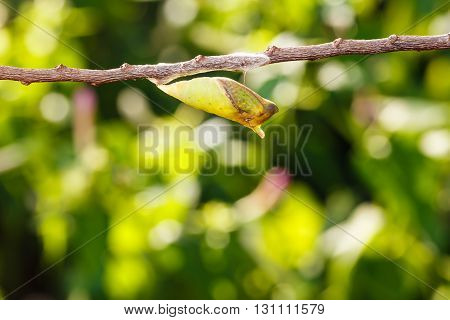 Mature Chrysalis Of Tailed Jay Butterfly