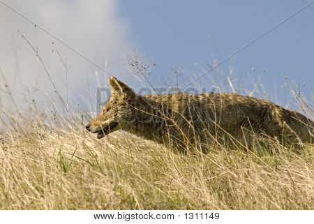 Coyote Hunting 4