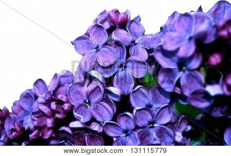 Bright blooming lilac flowers isolated on white background. Floral background with free space for text. Selective focus at the central flowers