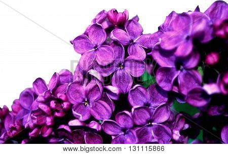 Bright pink lilac flowers in blossom isolated on white background. Floral background with free space for text. Selective focus at the central flowers