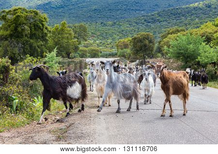 Herd of mountain goats walking on road in Greece