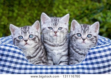 Three young british short hair black silver tabby spotted kittens sitting in checkered basket