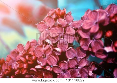 Closeup of blooming dark red lilac flowers under soft light. Selective focus at the central flowers soft focus and creative filter processing