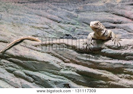 iguana with long tail lies on a stone