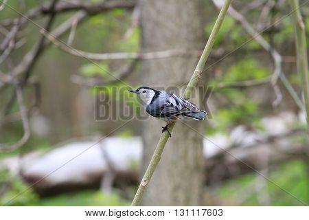 White-breasted Nuthatch perched on branch in morning