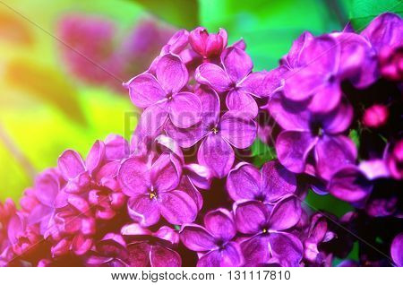 Blooming beautiful bright pink lilac flowers lit by sunlight. Selective focus at the central flowers soft focus processing