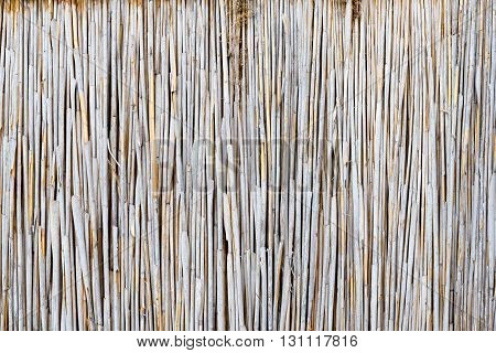 nature texture of the light dry reeds