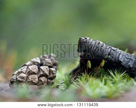 Forest. Cone, branch, moss - macro landscape