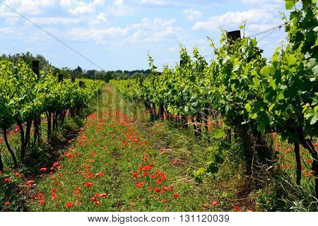 Vines and red poppies - Looking in a vineyard