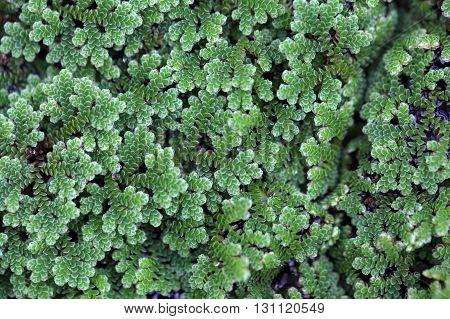 Macro photo of water ferns of the genus Azolla sp.