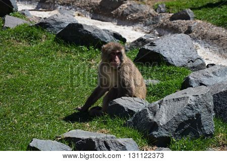 Snow Monkey outside on the green grass