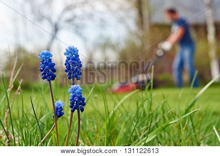 Grape hyacinth flowers closeup and a man mowing lawn in the background