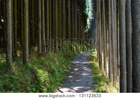Forest of straight Cryptomeria trees, or Japanese cedar, along the Kiyotaki to Takao trail in Kyoto