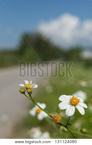White flowers and blured country road. (Selective focus)