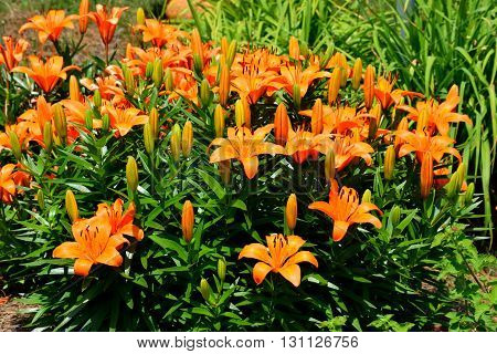 Orange colored Day Lily in outdoor garden.