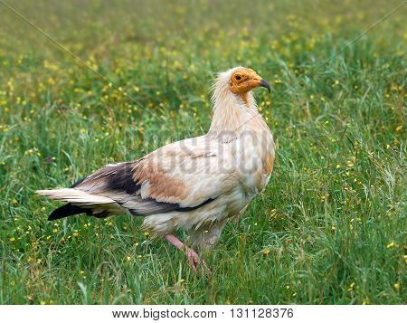 Egyptian vulture (Neophron percnopterus) standing on the ground in grass in its habitat