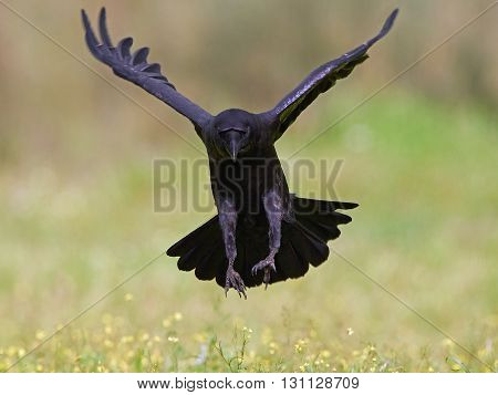 Common raven (Corvus corax) in flight with vegetation in the background