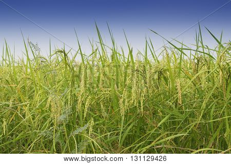 Fully grown paddy in a paddy field green agriculture land rural image of West Bengal India. Paddy is the biggest agricultural product of rural India especially in West Bengal India.