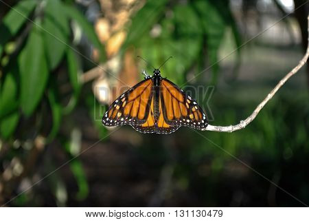 Monarch butterfly resting amongst greenery with wings extended