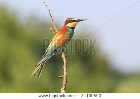 excellent color bird on a branch, bee eater, green background
