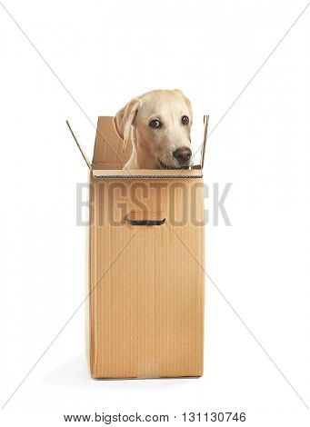 Cute Labrador dog in cardboard box isolated on white