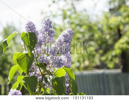 Branch of white lilac flowers