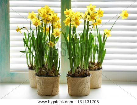 Blooming narcissus flowers on windowsill