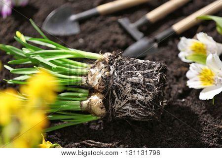 Narcissus seedling on soil background