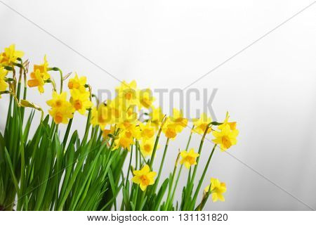 Blooming narcissus flowers on blurred background