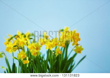Beautiful narcissus on light background