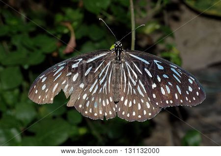 Black With Light-blue Dots Butterfly
