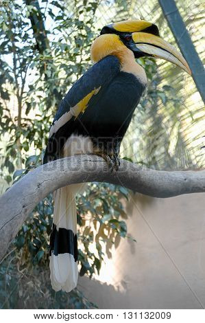 Knobbed Hornbill (aceros Cassidix - Rhyticeros Cassidix)