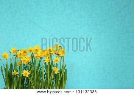 Blooming narcissus flowers on blue wall background