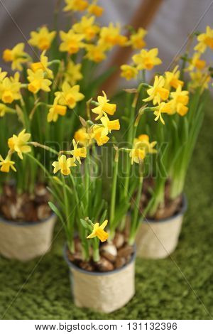 Blooming narcissus flowers on green carpet, indoors