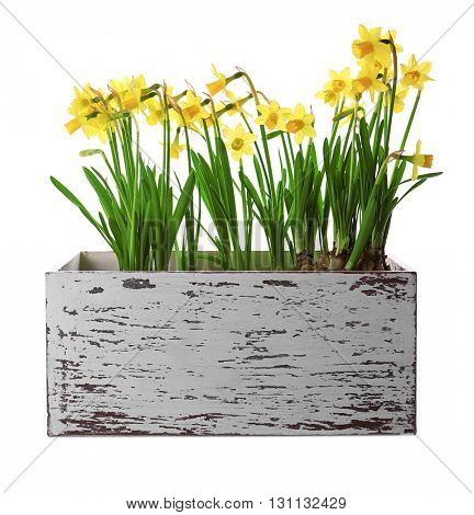Beautiful narcissus in wooden crate isolated on white
