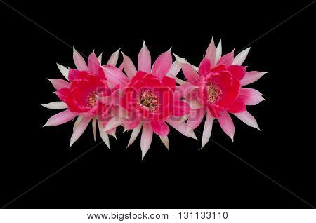 Cactus flower isolated on black background, top view