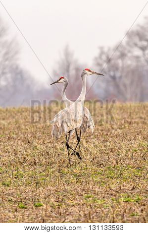 A pair of sandhill cranes. Taken in Kentucky.