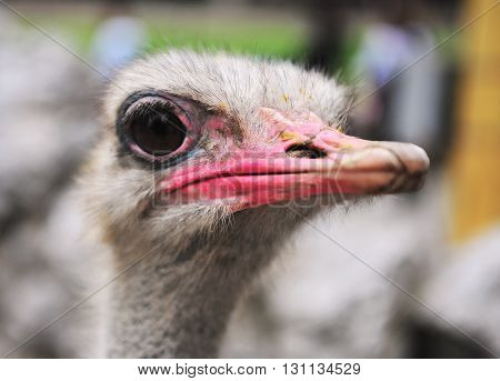 Portrait of an emu in the zoo