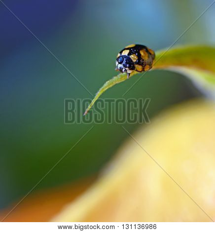close up of an yellow ladybug with water drops