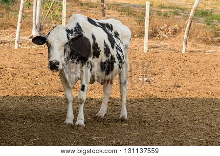 Black and white cow on local farm in Thailand
