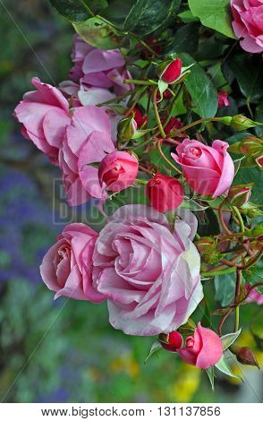 Beautiful pink spring roses and rosebuds in garden