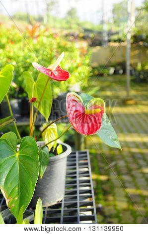 Beautiful red anthurium in a pot in tropical areas
