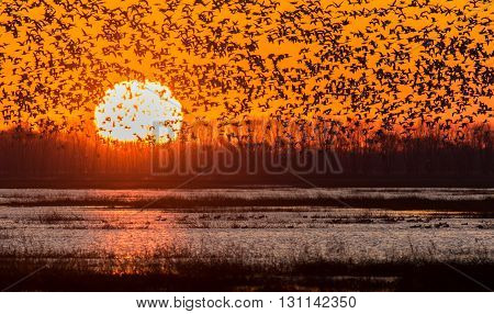 Snow Geese migration at dawn. Taken in Indiana.
